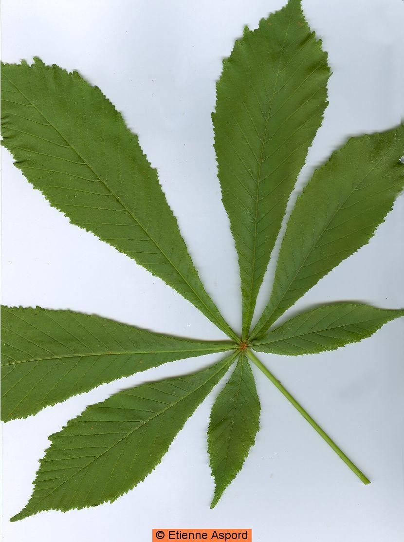 plante verte 7 feuilles