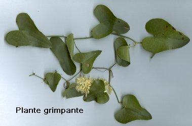 plante grimpante coeur