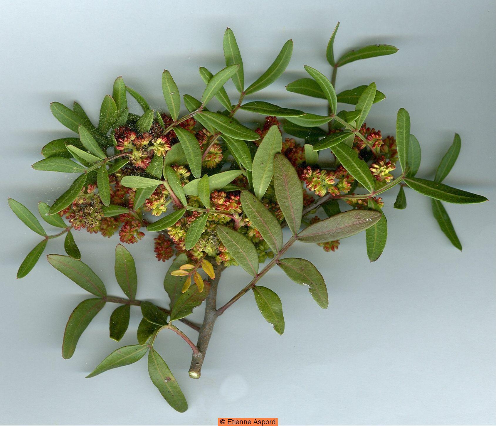 pistacia lentiscus l 13009 marseille vallon des escoutines 2009 04 28 avr. Black Bedroom Furniture Sets. Home Design Ideas